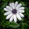 white daisy (osteospermum)