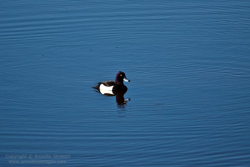 Tufted Duck, Siikalahti