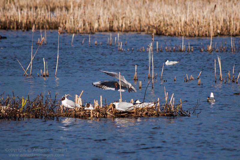 Nesting gulls, Siikalahti