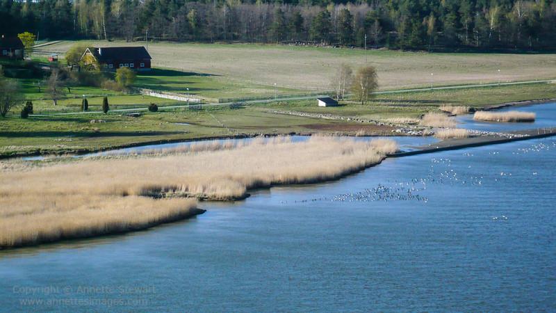 Brandt geese, Aland