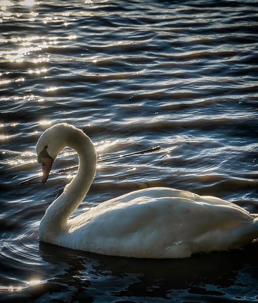 Swan at Garonne