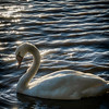Swan at Garonne