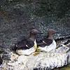 Common Guillemot, Storhofthi, Heimaey, Vetmannaeyjar, Iceland