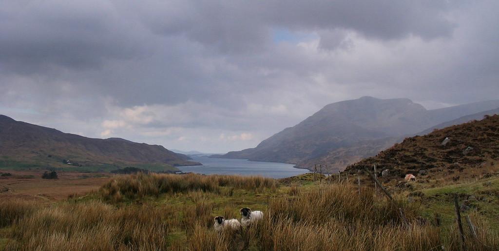Sheep in the Irish Countryside