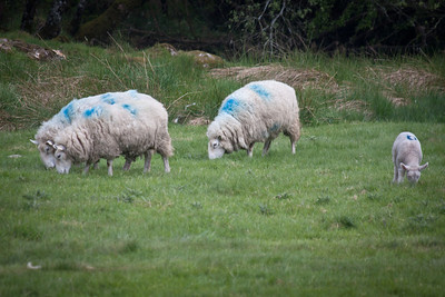 How pastoral - lovely emerald green grass, and blue sheep safely grazing.  ;-)