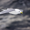 Black-legged Kittiwake,