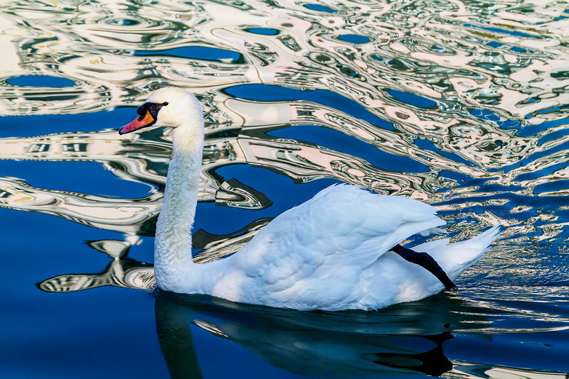 injured swan navigating with just one leg