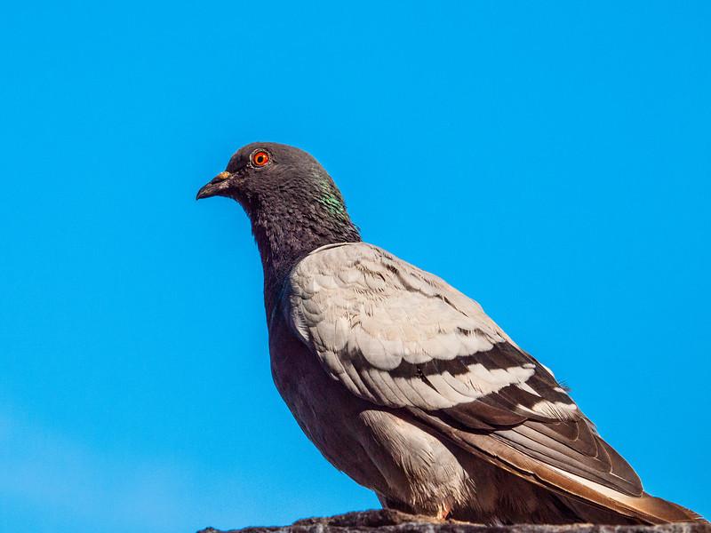 Devil pigeon on the roof of the Castelvecchio Museum, Verona, Italy.