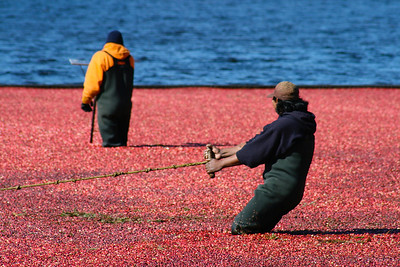 Cranberry Workers 1