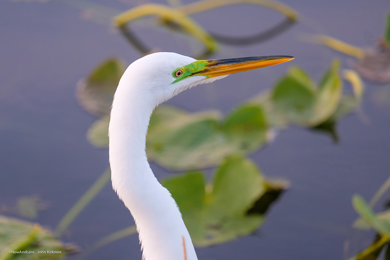 Adult Breeding Egret
