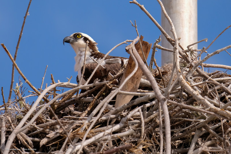 Osprey, Flamingo Florida