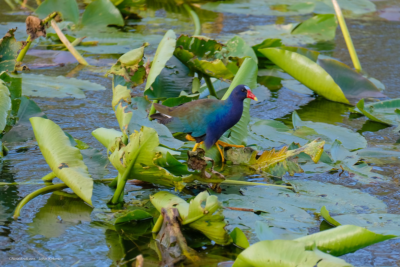 Purple Gallinule, Everglades