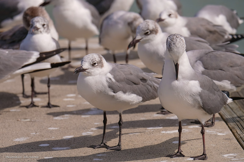 Laughing Gulls, Everglades