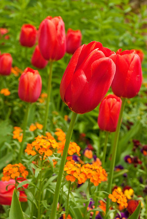 Tulips, Monet's Garden, Giverny, France