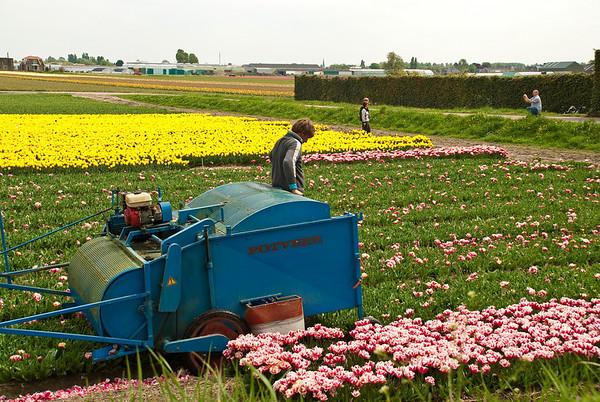 Farmer working the tulip fields