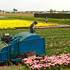 Farmer working the tulip fields