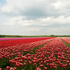 Tulip fields, near Keukenhof Gardens, Holland