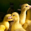 Ducklings, City Market, Haarlem, Holland