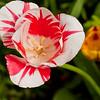 Tulip, Monet's Garden