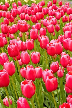 Tulips in Keukenhof Gardens, Holland