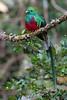 Macho de Quetzal (Pharomachrus mocinno) en los bosques de montaña de la cordillera de Talamanca