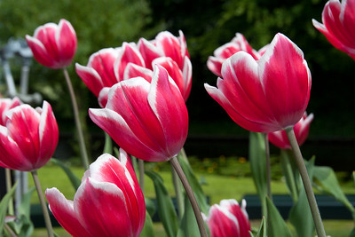 Pink Tulips The Netherlands May 2011