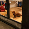 011417_Vicious Florence shop watchdog