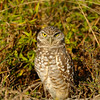 Burrowing Owl<br /> Cape Coral, Florida<br /> December 2012