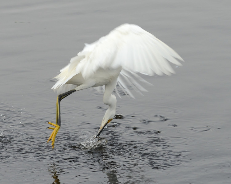 ...reaches in ...<br /> Black Point Wildlife Drive<br /> Merritt Island NWR, Florida<br /> December 2012