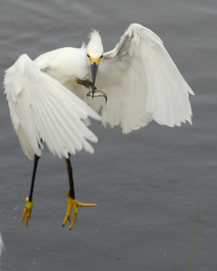 paid off double for this Snowy Egret Black Point Wildlife Drive Merritt Island NWR, Florida December 2012