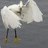 paid off double for this Snowy Egret<br /> Black Point Wildlife Drive<br /> Merritt Island NWR, Florida<br /> December 2012