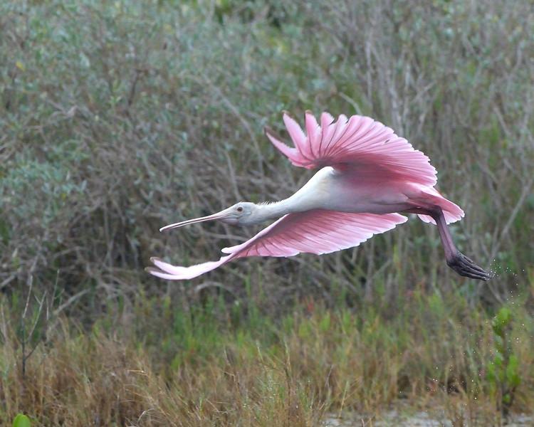 Roseate Spoonbill<br /> near the entrance to Black Point Wildlife Drive<br /> Merritt Island NWR, Florida<br /> December 2012