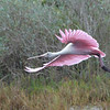 Roseate Spoonbill<br /> near the entrance to Black Point Wildlife Drive<br /> Merritt Island NWR, Florida<br /> December 2012