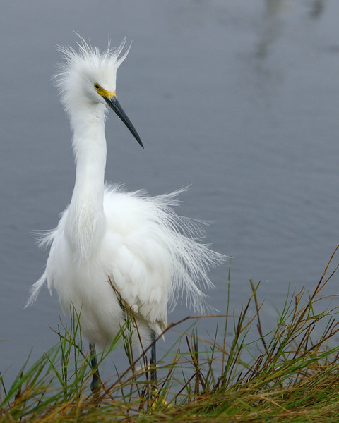 Snowy Egret, still out of sorts<br /> Black Point Wildlife Drive<br /> Merritt Island NWR, Florida<br /> December 2012