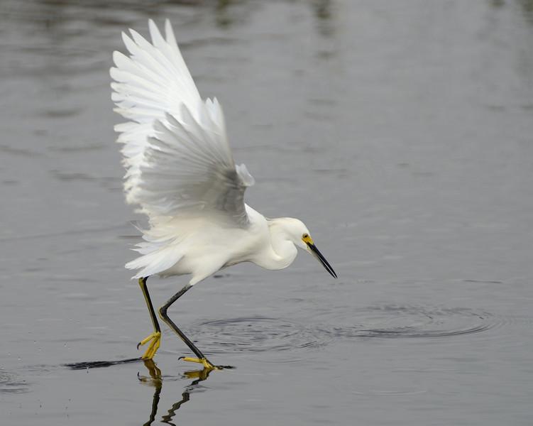 ... finds its target ...<br /> Black Point Wildlife Drive<br /> Merritt Island NWR, Florida<br /> December 2012