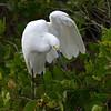 Snowy Egret<br /> Biolab Road<br /> Merritt Island NWR, Florida<br /> December 2012