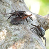 Tree crabs<br /> Ding Darling NWR, Florida<br /> December 2012