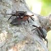 Tree crabs<br /> Ding Darling NWR, Florida<br /> December 2012