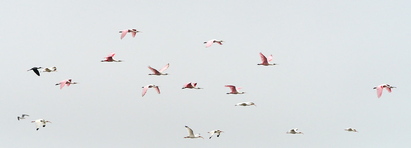 mixed flock<br /> Biolab Road<br /> Merritt Island NWR, Florida<br /> December 2012