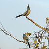 Florida Scrub Jays<br /> Cape Canaveral National Seashore<br /> Florida<br /> December 2012