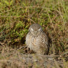 Burrowing Owl, looking down<br /> Cape Coral, Florida<br /> December 2012