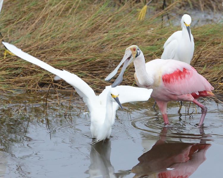 """Ha ha ha.  I love to see them run""<br /> Black Point Wildlife Drive<br /> Merritt Island NWR, Florida<br /> December 2012"
