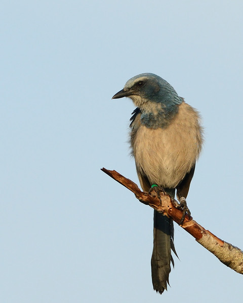 Florida Scrub Jay portrait<br /> Cape Canaveral National Seashore<br /> Florida<br /> December 2012