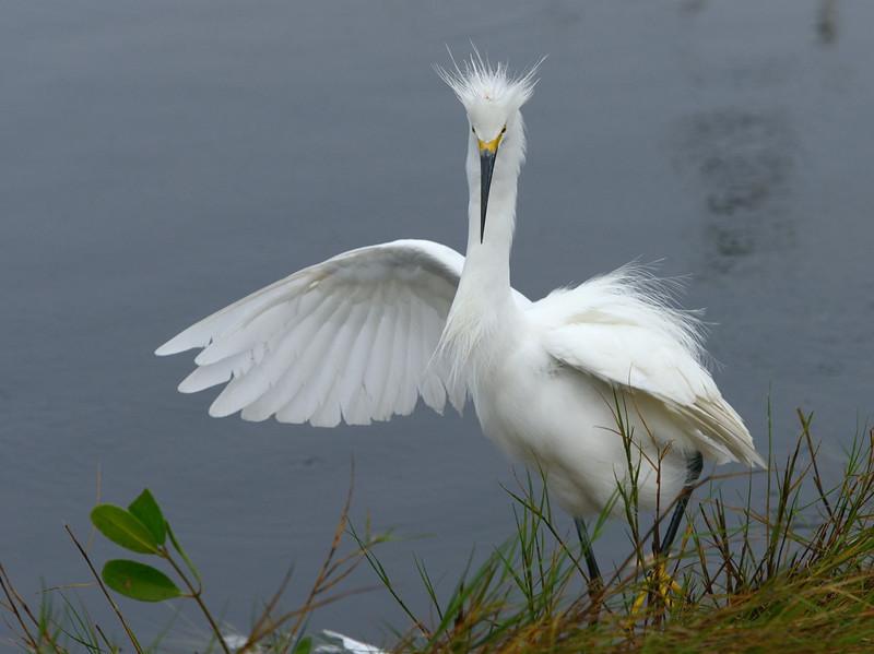 The territorial Snowy Egret gets all fluffed up again<br /> Black Point Wildlife Drive<br /> Merritt Island NWR, Florida<br /> December 2012