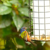 Painted Bunting<br /> Merritt Island NWR Visitors' Center, Florida<br /> December 2012
