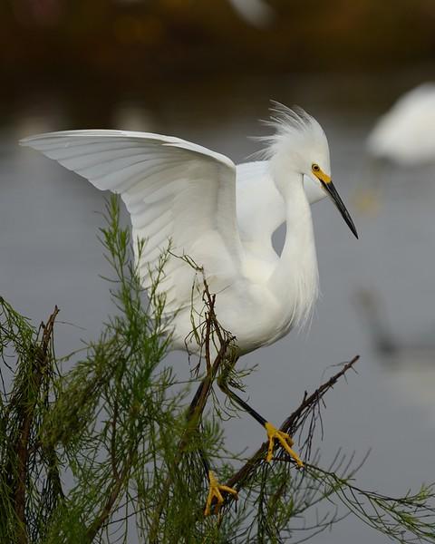 Snowy Egret landing<br /> Black Point Wildlife Drive<br /> Merritt Island NWR, Florida<br /> December 2012