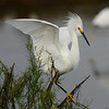 Snowy Egret landing<br /> Black Point Wildlife Drive<br /> Merritt Island NWR, Florida<br /> December 2012
