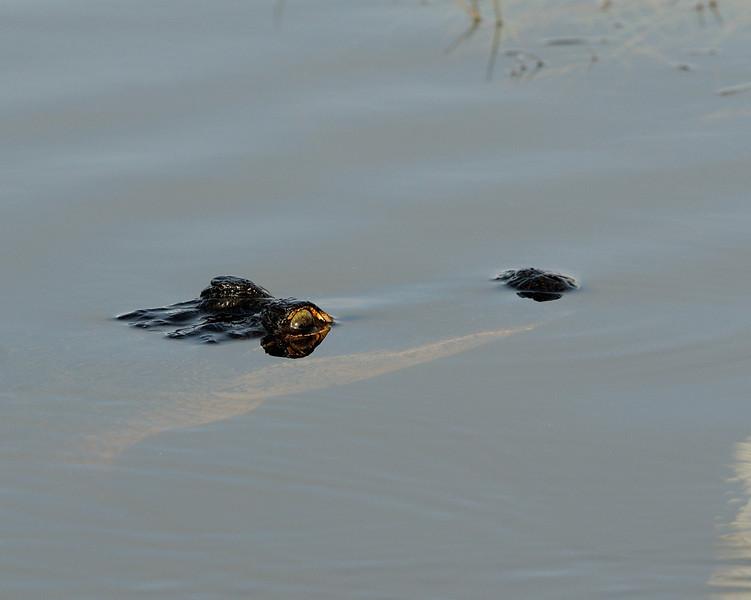 Alligator hoping to have Snowy Egret for breakfast<br /> Black Point Wildlife Drive<br /> Merritt Island NWR, Florida<br /> December 2012