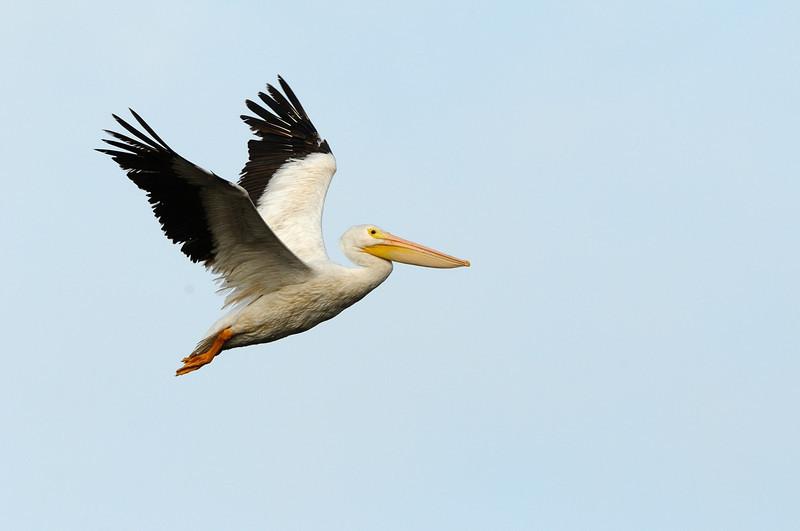American White Pelican<br /> Wood Stork<br /> Black Point Wildlife Drive<br /> Merritt Island NWR, Florida<br /> December 2012