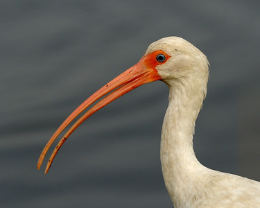 White Ibis Portrait Black Point Wildlife Drive Merritt Island NWR, Florida December 2012